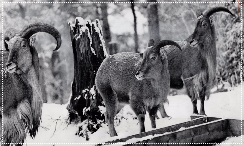 Link to picture of the Ontario Zoological Park Wasaga Beach 1966 featuring Barbary sheep from the Atlas Mountains of North Africa